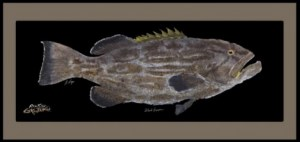 Black Grouper18409